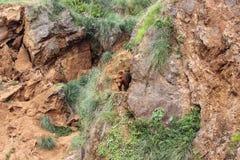 Brown niedźwiedzia Ursus arctos zdjęcia royalty free