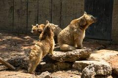 Brown niedźwiedzie Obrazy Stock