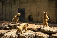 Brown niedźwiedzie Obrazy Royalty Free
