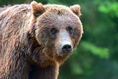 Brown niedźwiedzie Zdjęcie Stock