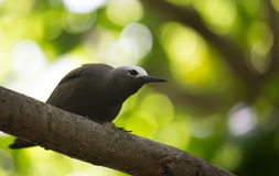 Brown Noddy Image stock