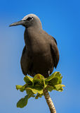 Brown Noddy. Or Common Noddy (Anous stolidus) sitting on tree branch, Bird island, Seychelles Stock Image