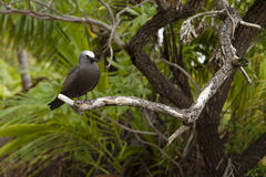 Brown Noddy Anous Stolidus Stock Image