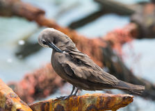 Brown Noddy. A Brown Noddy rests on a piece of old rusted dock near its Gulf of Mexico breeding grounds Royalty Free Stock Photo