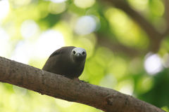 Brown Noddy Stock Images