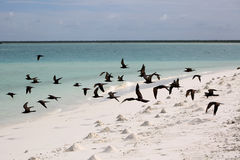 Brown Noody Birds. Motu Tabu Islet, Christmas Island, Kiribati Stock Photos