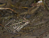 Brown Northern Leopard Frog Stock Photos