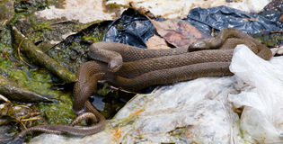 Brown Northern Water Snake. Brown colored Northern Water Snake, commonly referred to as a water moccasin, photographed in Virgnia stock photo
