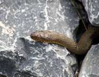 Brown Northern Water Snake. Brown colored Northern Water Snake, commonly referred to as a water moccasin, photographed in Virgnia royalty free stock image