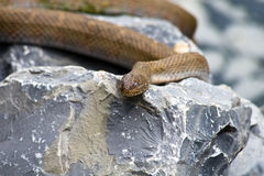 Brown Northern Water Snake. Brown colored Northern Water Snake, commonly referred to as a water moccasin, photographed in Virgnia stock photos
