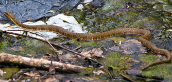 Brown Northern Water Snake Royalty Free Stock Image
