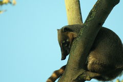 Brown nosed coati. (nashua nashua) hanging its head into the branch of a three. Gloomy eyes! (in zoo Royalty Free Stock Image
