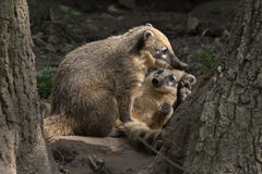 Brown-nosed Coati Stock Photo