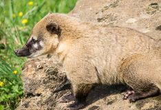 Brown Nosed Coati stock photography