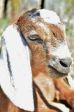 Brown Nubian Goat Royalty Free Stock Image