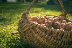 Brown nuts in a basket. On the grass in the village Royalty Free Stock Photos