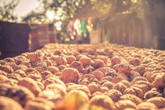 Brown nuts in the rural royalty free stock image