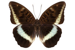 Brown Nymphalidae butterfly Royalty Free Stock Images