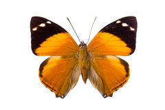 Brown Nymphalidae butterfly Royalty Free Stock Photo
