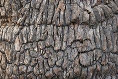 Brown oak bark Royalty Free Stock Image
