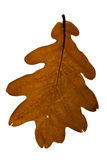 Brown oak leaf. Isolated on the white background Stock Photos