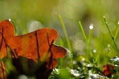 Brown oak leaf on green meadow in backlight Stock Images