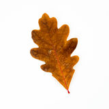 Brown Oak Leaf Isolated on White Stock Photography
