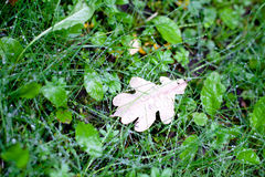 Brown oak leaf Royalty Free Stock Photos