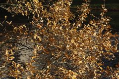 Brown oak leaves. In autumn Royalty Free Stock Image