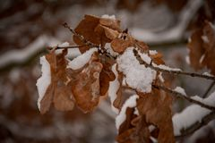 Brown oak leaves covered with the first white snow on a winter gray day stock photo