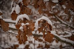 Brown oak leaves covered with the first white snow on a winter gray day stock photography