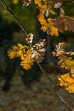 Brown oak leaves on a thin branch in the sunlight Stock Images