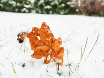 Brown oak tree leaf with fresh snow Royalty Free Stock Image