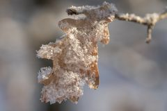 Oak leaf covered with snow close-up royalty free stock images