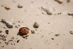 Brown-Oberteil auf weißem Sandstrand Kleiner Seashell Tropischer Naturgegenstand Ozeanwild lebende tiere stockfoto