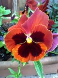 Brown and Ochre Pansy. In the Garden Royalty Free Stock Image