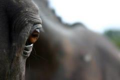 Brown oczy czarny koń fotografia stock