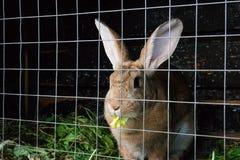 Brown Olanda pota il coniglio nella gabbia fotografia stock