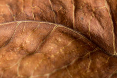 Brown old leaf texture. Royalty Free Stock Images