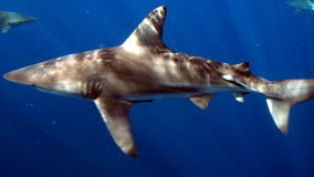 Brown ols shark Stock Photo