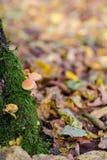 Brown ono rozrasta się w jesień lesie obraz stock