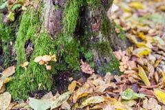 Brown ono rozrasta się w jesień lesie obrazy royalty free
