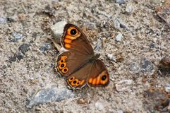 Brown and Orange Butterfly Royalty Free Stock Image