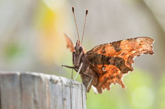 Brown and orange butterfly, close up Stock Image