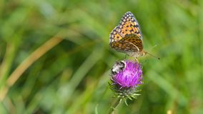 Brown and orange butterfly with dots. Laid on purple flower, in summer meadow stock photography