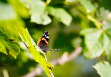 Brown and orange butterfly enjoying the sun on a leaf in the austrian alps. In late spring stock images