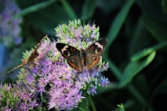 Brown and orange butterfly. Butterfly on flower royalty free stock photo