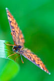Brown orange butterfly  on a green leaf in. Front of wild brown orange butterfly  on a green leaf in the bush Stock Photos