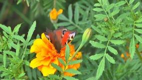 Butterfly on a flowe stock footage