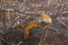 A brown orange Land Iguana Royalty Free Stock Photo